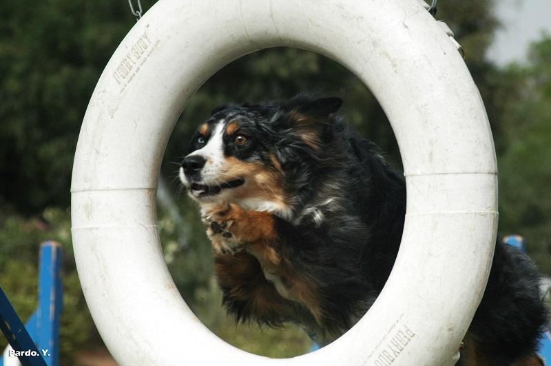 לימודי אג'יליטי כלבים
